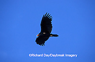 00780-00519 Turkey Vulture (Cathartes aura) in flight Marion Co.   IL