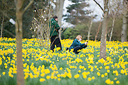 © Licensed to London News Pictures. 17/03/2014. Kew, UK People photograph the daffodils. People enjoy the occasional sunshine at Kew Gardens today 17th March 2014. Photo credit : Stephen Simpson/LNP