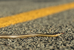 September 10, 2017 - Elkton, OREGON, U.S - A small snake crosses a country road near Elkton in rural western Oregon. (Credit Image: © Robin Loznak via ZUMA Wire)