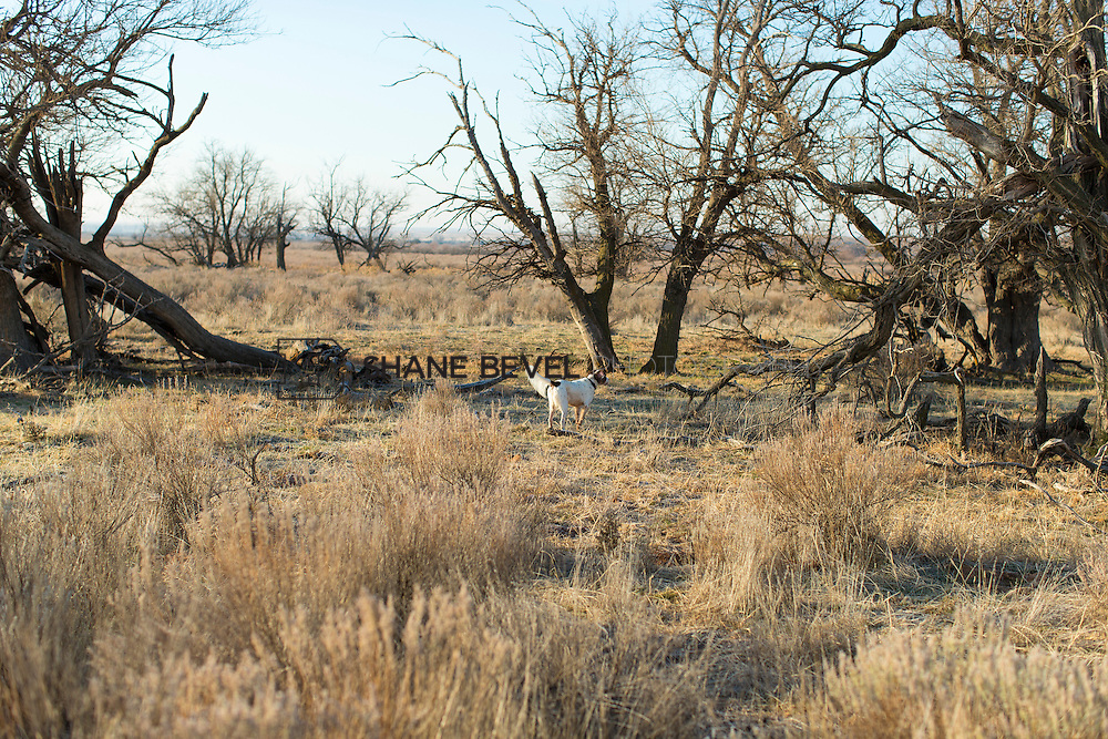 12/8/12 10:00:17 AM -- Quail hunting on the Cimarron Hills WMA in western Oklahoma. <br /> <br /> Photo by Shane Bevel