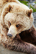 A close-up view of a grizzly bear in Denali National Park, Alaska.