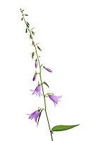 IFTE-NB-007461; Niall Benvie; Creeping belllower; Campanula; rapunculoides; Europe; Austria; Tirol; Fliesser Sonnenhänge; vegetation flowering plant; vertical; high key; blue white; wild; woodland edge shade forest; 2008; July; summer; strobe backlight; Wild Wonders of Europe Naturpark Kaunergrat