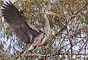 More nest building activity, with the male bringing branches to the nest.  Lake Murray.  San Diego, CA.  USA.