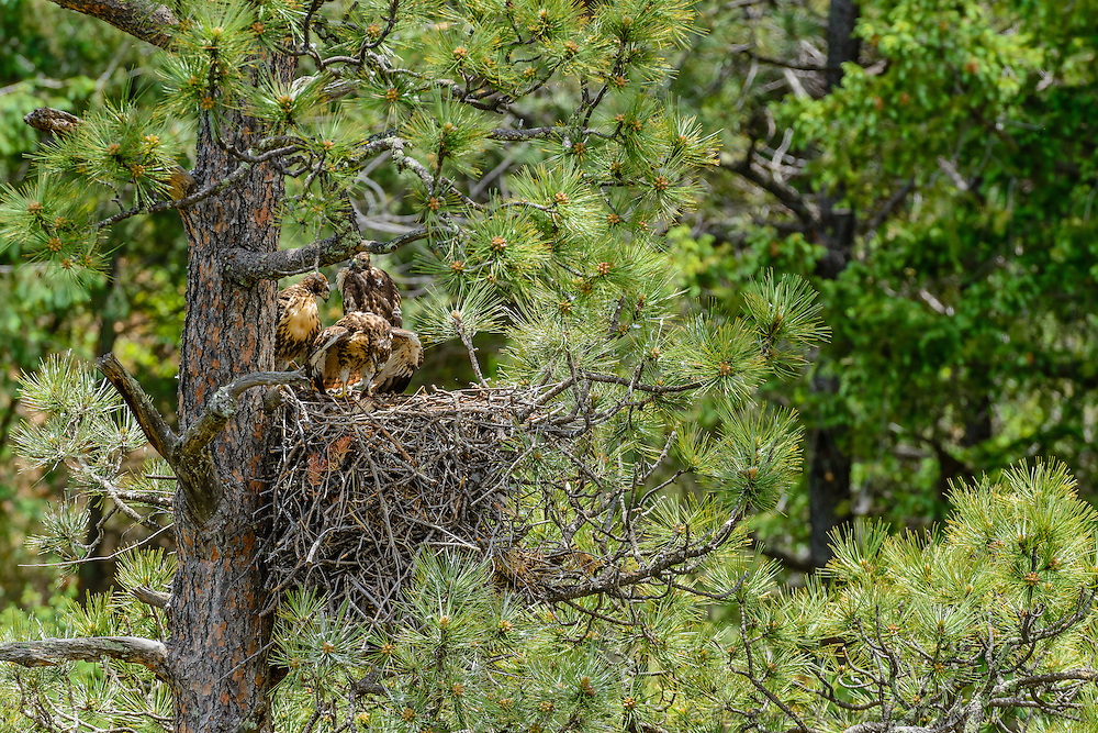 Red-tailed Hawk [Buteo jamaicensis] juveniles close to fledging the nest, mealtime; Raton Pass, Colorado
