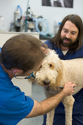 A standard poodle is examined by staff at NWVS Animal Hospital