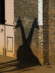 The shadows of two giraffes on a wall waiting for pumpkin Halloween treats at ZSL London Zoo.