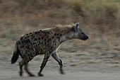 Hyena Stock Photos