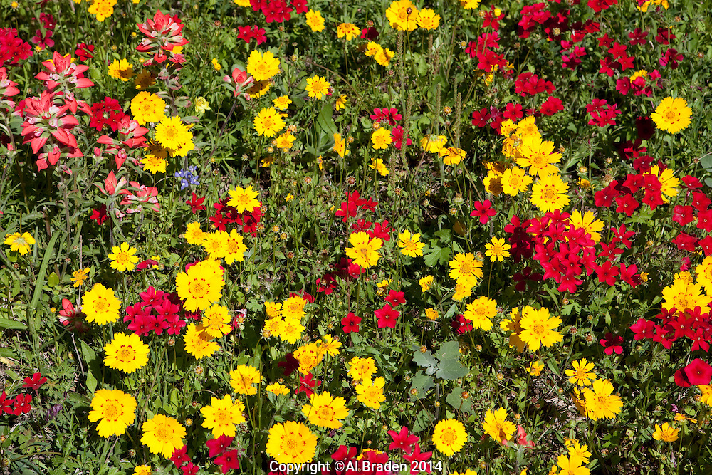 Coreopsis and Phlox, Gonzales County