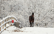 Otisville, NY - A horse feeds in a field afer a snowstorm on Dec. 6, 2009.