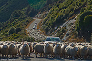 The Queenstown road to Glenorchy blocked by a 100's of sheep.