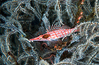 A parasitic isopod attached to a Long Nosed Hawkfish<br /> <br /> Shot in Indonesia