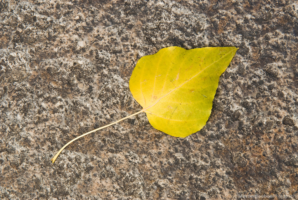Autumn leaf of a black cottonwood (Populus trichocarpa) resting on a granite boulder, fall, California