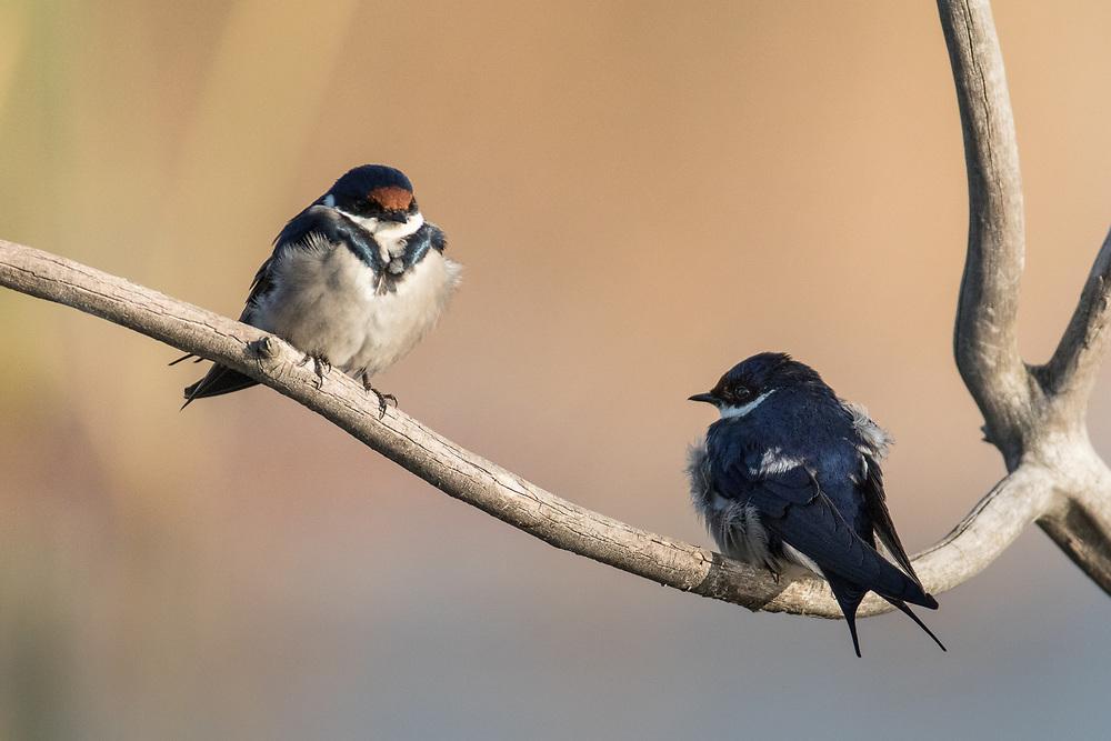 Hirundo albigularis, South Africa
