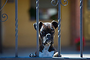 Boxer dog on guard duty at house in Caltada Del Coto in Castilla y Leon, Spain