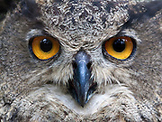 A closeup shot of a Eurasian Eagle Owl (Bubo bubo).