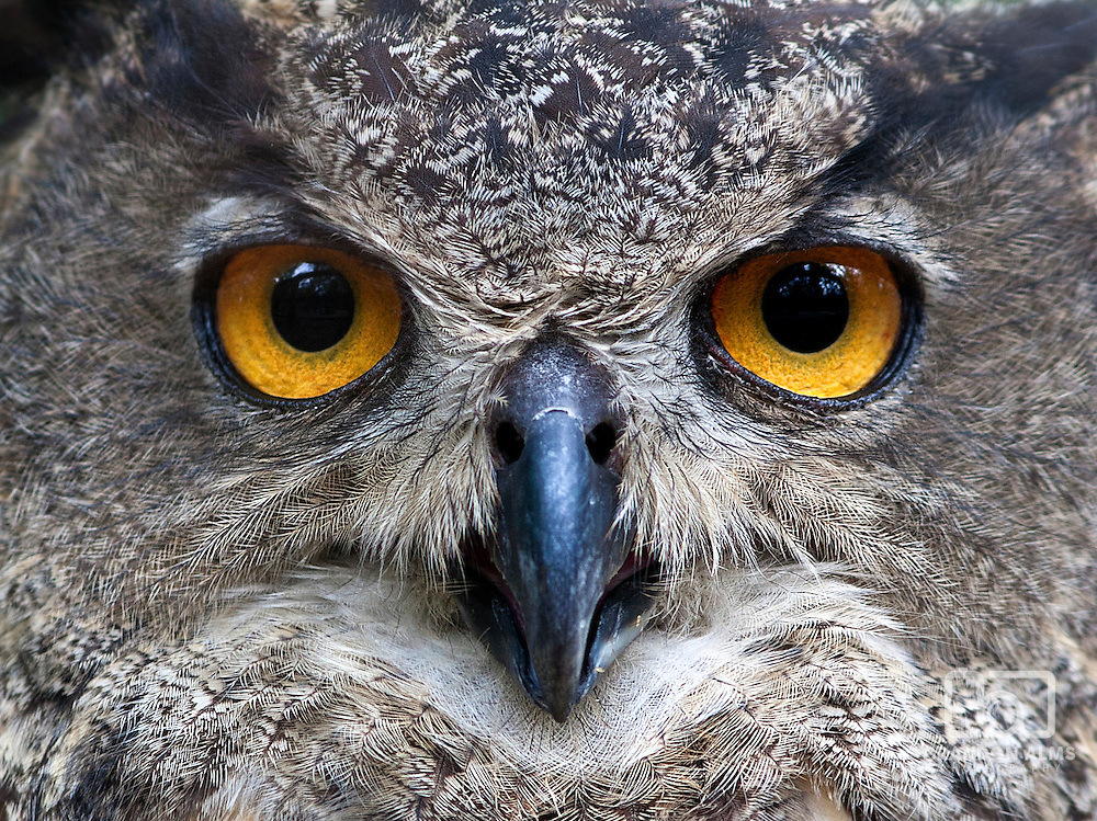 A closeup shot of a Eurasian Eagle Owl (Bubo bubo).