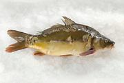 whole Fresh Carp (Cyprinidae) on ice