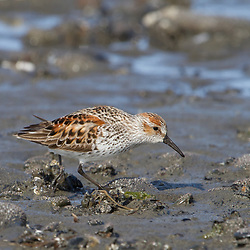 A western sandpiper forages on the tidal flats.
