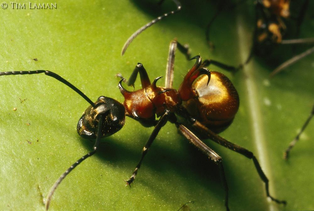 A Polyrhacis ant on a strangler fig leaf.