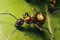 A Polyrhacis ant on a strangler fig leaf.