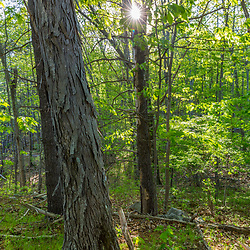 A forest scene at Emery Farm in Durham, New Hampshire. Shagbark hickory, Carya ovata.