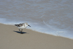 This Sanderling (Calidris alba) is foraging the outer beach of Assateque in it's winter plumage, but will summer in the Tundra.