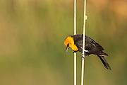 Yellow Headed Blackbird (Xanthocephalus xanthocephalus) - Colorado River Slough,  Needles, CA