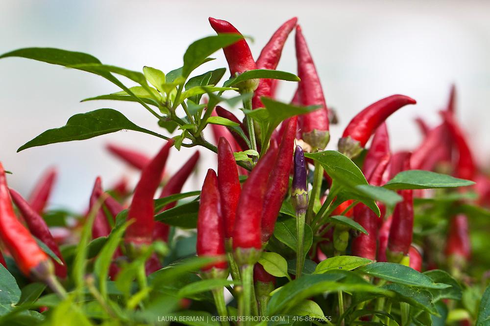 Sangria Ornamental Pepper (Capsicum annuum 'Sangria')