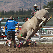 DJ Church from Waiouru is gnawed by the bull during the Open Bull Ride at the Wanaka Rodeo. Wanaka, South Island, New Zealand. 2nd January 2012