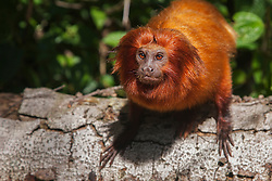 Portrait of an endangered golden lion tamarin (Leontopithecus rosalia) sitting on a tree,Brasil, South America