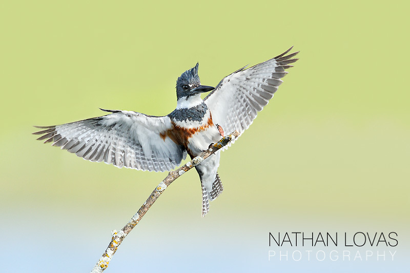 Belted Kingfisher adult female (Ceryle alcyon) landing on perch;  Perham, MN .