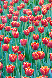 Red tulips in famous Keukenhof Garden in Lisse Netherlands April 2009