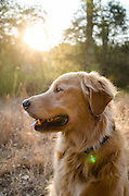Portrait of a golden retriever in late afternoon sun, California