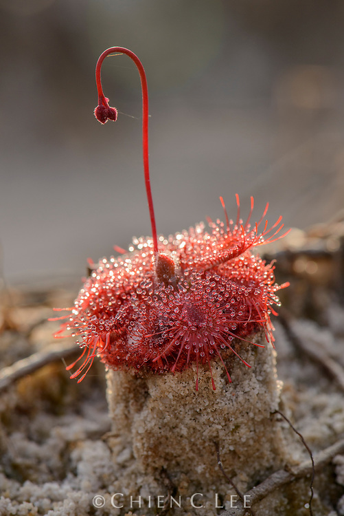 With its rapidly mobile marginal tentacles, this small carnivorous sundew (Drosera burmannii) is able to secure a trapped insect and transport it towards the centre of its leaves where it can be digested. It occurs widely in wet sandy habitats across Southeast Asia. Kampot, Cambodia.