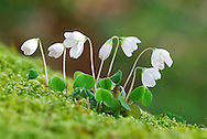 WOOD SORREL Oxalis acetosella (Oxalidaceae) (Fabaceae) Height to 10cm. Charming, creeping perennial. An indicator of ancient, undisturbed woodlands and hedges. FLOWERS are 1cm across, bell-shaped and white or pale pink with lilac veins; borne on stalks (Apr-Jun). FRUITS are hairless capsules. LEAVES are trefoil, fold down at night, and are borne on long stalks. STATUS-Widespread and locally common.