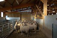 17/03/05 - BEAUBERY - SAONE ET LOIRE - FRANCE - Elevage ovins. EARL BAJARD. Selectionneur Charolais - Photo Jerome CHABANNE