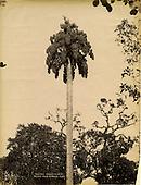 Ceylon - Scowen Botanic Photographs