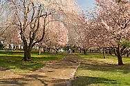New Jersey, Newark, Branch Brook Park, Spring, Cherrry Blossom, couple walking