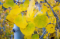 Golden aspen leaves cling to the trees during Fall in the Wasatch Mountains near Salt Lake City, Utah.