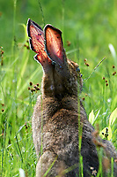 Eastern cottontail rabbit (Sylvilagus floridanus)  showing ears and face infested with ticks Cherry Hill, Nova Scotia, Canada,