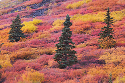 Fall colors and spruce trees fill the autumn landscape in the Ogilvie Mountains of the Yukon Territory, Yukon Territory, Canada