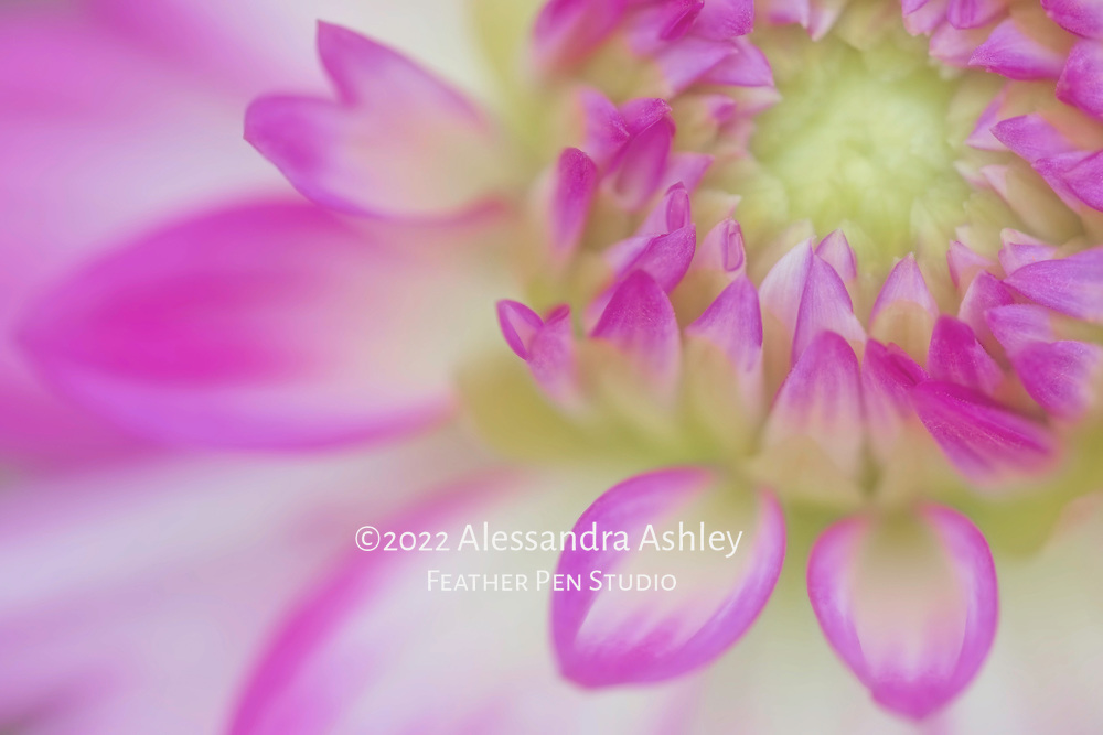 Macro floral portrait of orchid-pink and white dahlia petal tips highlighted by shallow depth of field.