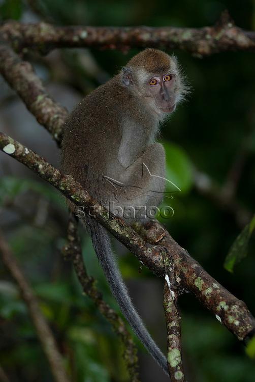 Long-tailed Macaque, Macaca fascicularis, sitting on branch, looking at camera, Kinabatangan, Sabah, Malaysia