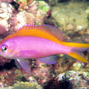 Purple Anthais inhabit reefs. Photographed Bali, Indonesia.