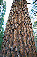 Ponderosa Pine Tree Tuolumne Meadows Yosemite National Park California USA.