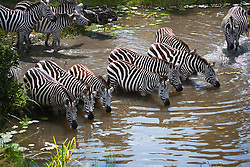 A herd of zebra standing in a water hole;  the common zebra ( Equus quagga ) has a distinctive black and white striped pattern that is unique to each individual, Masai Mara, Kenya