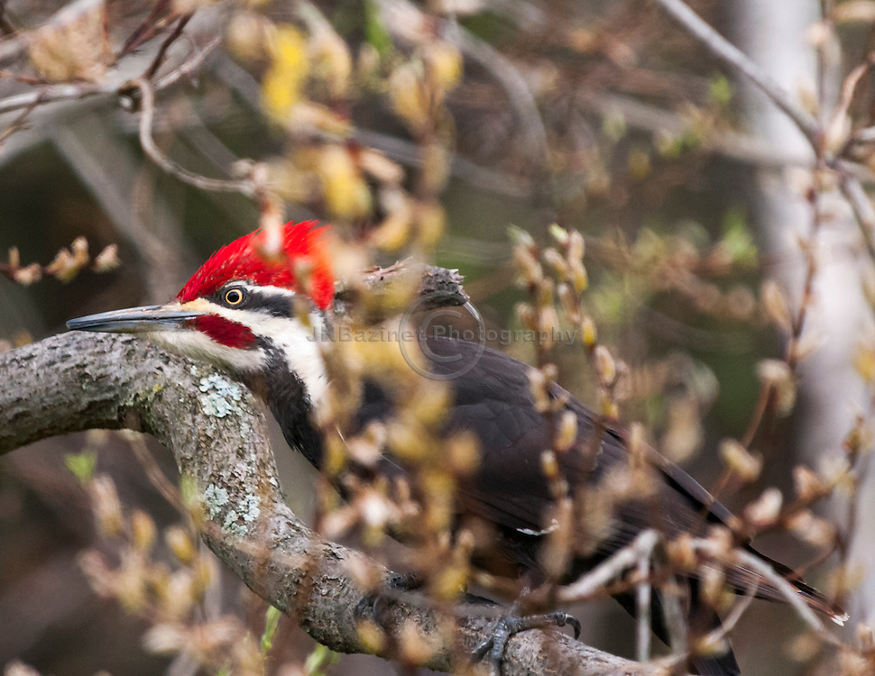 A Pileated Woodpecker hides among trees