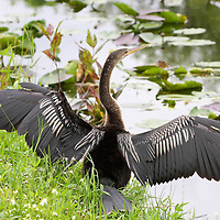Anhinga female drying its wings Everglades Florida