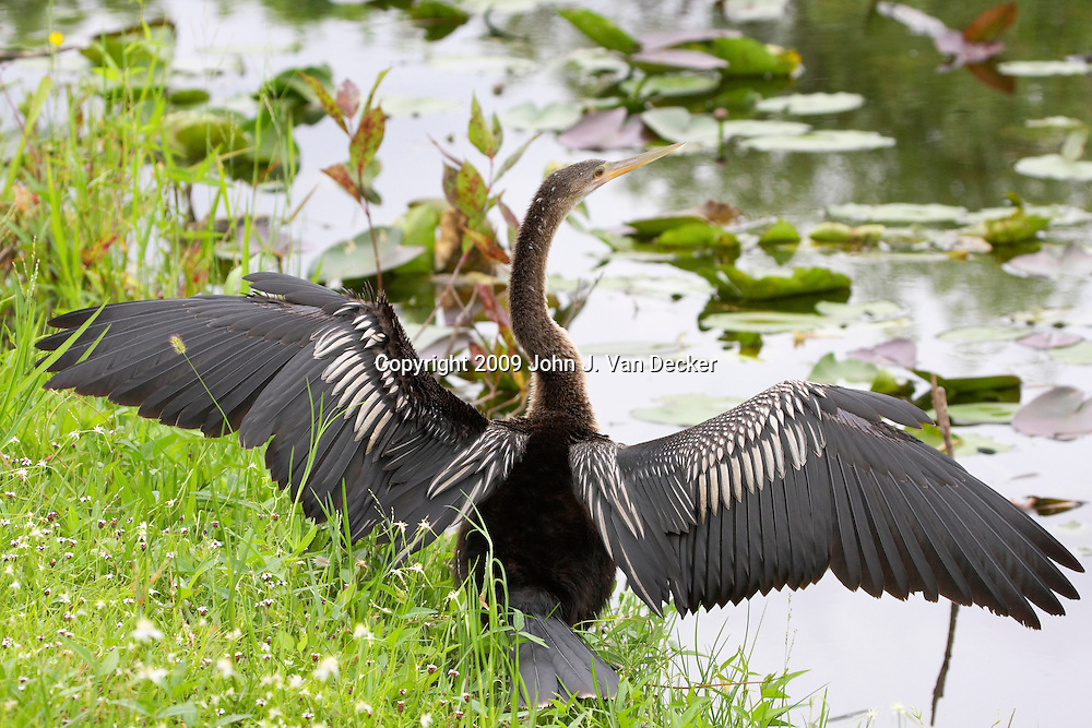 Anhinga female drying its wings Everglades Florida