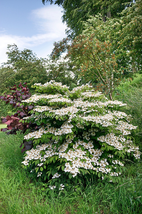 Viburnum plicatum (Japanese snowball) with white flowers